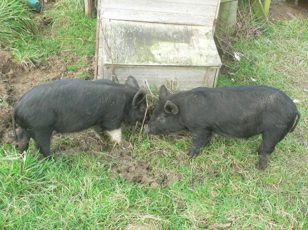 5 Saddleback cross piglets 4 months old
