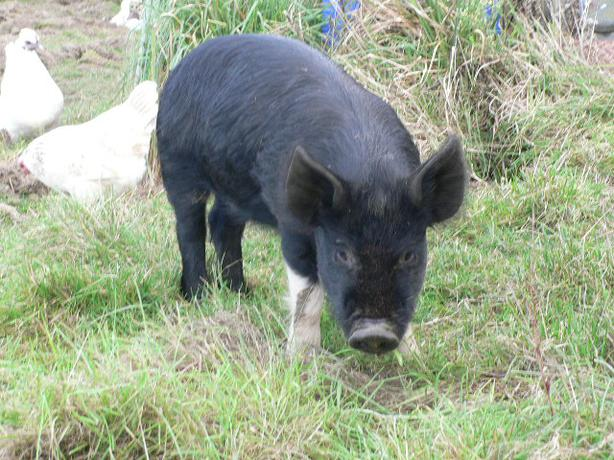 5 Saddleback cross piglets 4 months old