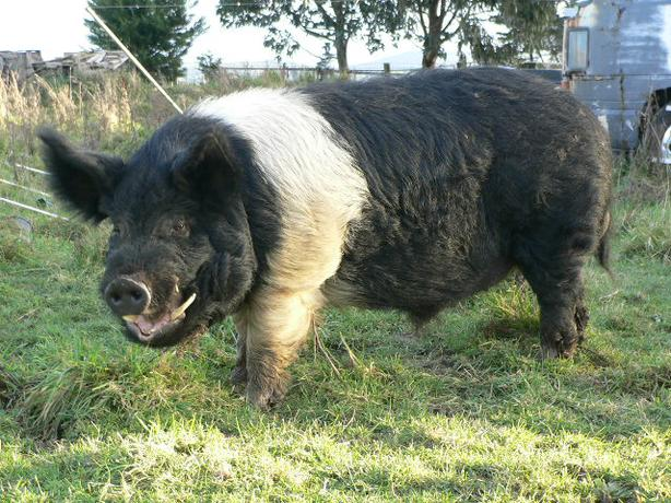 Pigs - a large boar, 2 sows, and 2 piglets