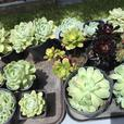 assorted kinds of succulents, money plants, jade plants
