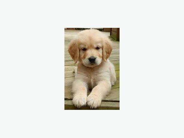 Golden-Retriever-puppy-girl needs a new home