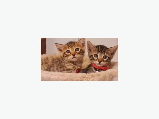 -Bengal-kittens-Male-and-female-for-ad0ption.