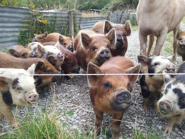 KUNE KUNE Piglets